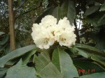rhododendron_in_todke-scaled500